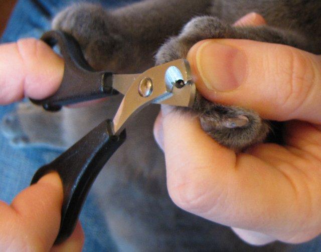 как обрезать ногти морской свинке видео