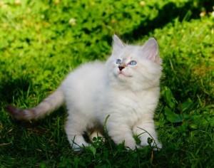 котята -nev